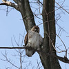 Red Tailed Hawk 2011-01-08 :