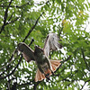 Red Tailed Hawk 2011-06-07 :
