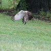 Red Tailed Hawk 2011-09-06 :