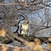 Red Tailed Hawks and Prey 2012-01-06 :