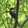 Black Billed Cuckoo 2011-06-05 :