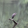 Great Blue Heron :