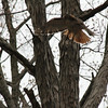 Red Tailed Hawk 2011-04-24 :