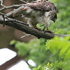 Red Tailed Hawk 2011-06-12 :