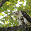 Red Tailed Hawk 2011-08-31 :