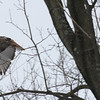 Schenley Park Flying Hawk 1-13-12 :