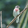 Rose Breasted Grosbeak :