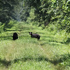 Two Black Bears :