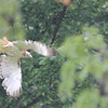 Hawk Drizzle : Hawk in Schenley Park lightens up pre-flight, on a drizzly day, with other signs of Fall.
