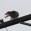 Rainy Day Red Tailed Hawk : On a rainy day, a red tailed hawk takes time to wring water off.