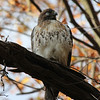 Red Tailed Hawk 2012-11-10 :