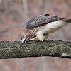 Red Tailed Hawk --  Balance of Nature : A red tailed hawk cleans his/her beak on the branch of a tree, after eating what appears to be a vole.