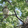 Red Tailed Hawk Family :