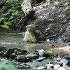 Red Tailed Hawk Bath : One of the red-tailed hawk population in Schenley Park, Pittsburgh, Pennsylvania, taking a bath in the stream on a hot summer day.