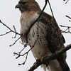 March Red Tailed Hawks : Red Tailed Hawks near the nest in Schenley Park, Pittsburgh Pennsylvania, in March 2013.