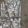 Sharpie in Schenley : This Sharp-shinned Hawk was observed near the start of the trail that leads down to the lake, close to the Bartlett Street playground, in Schenley Park, in Pittsburgh, Pennsylvania, in early January, 2013.